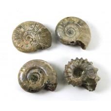 Ammonite example of 4 Species