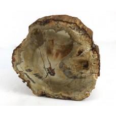 Petrified Wood Slice with Polished Face
