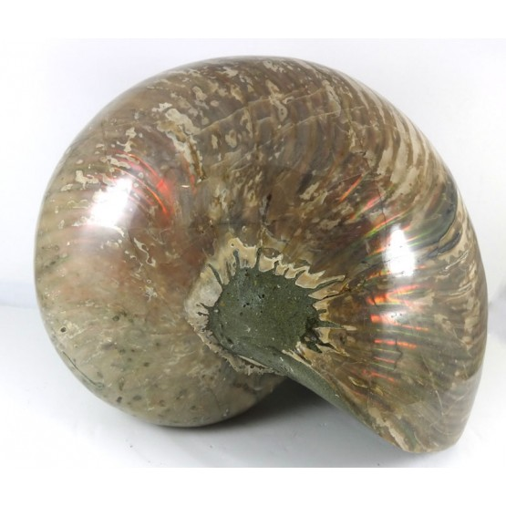 Huge Nautilus all Polished Surface