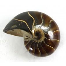 Nautilus Fossil Madagascar Polished