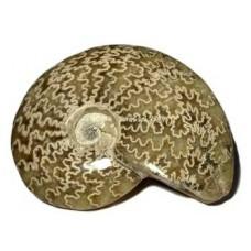 Ammonite (Cleoniceras) all polished