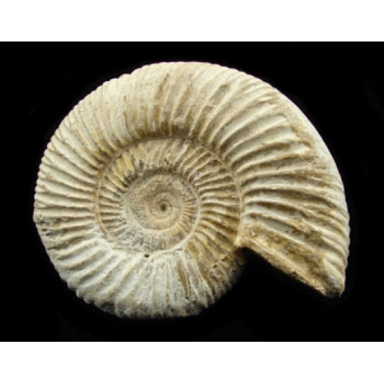 Natural - Rough Perisphinctes Ammonite